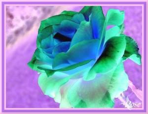 La Rose Magnifique