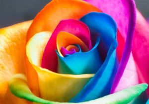 La Rose et Ses Epines...