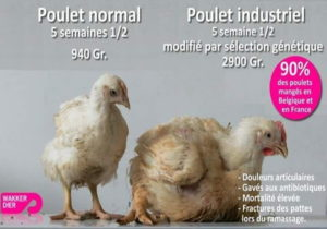 Poulet Normal Vs Poulet Industriel